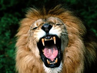 Roaring, African Lion