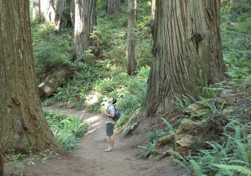 Son in the Redwoods